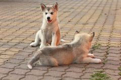 Two cute dogs. Two cute puppys of Alaskan Malamute stock photos