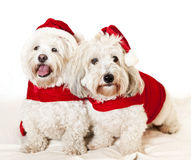 Two cute dogs in santa outfits Stock Photography