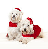 Two cute dogs in santa outfits Royalty Free Stock Photography