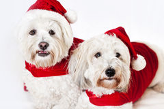 Two cute dogs in santa outfits Stock Photos