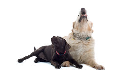 Two cute dogs sat together Stock Images
