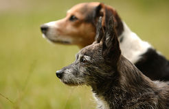 Two cute dogs. Side portrait of two cute dogs of different breeds, green nature background Royalty Free Stock Photography