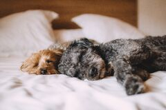 Two cute dogs sleeping on blanket Royalty Free Stock Photo