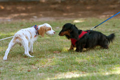 Two Cute Dogs Sniff And Check Each Other Out Stock Photo