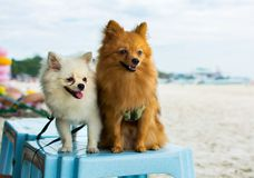 Two cute dogs standing on a chair in the beach. Two cute dogs standing on a chair stock photo