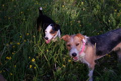 Two cute dogs. In a tall grass royalty free stock photo