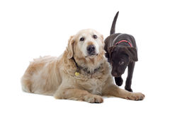 Two cute dogs together. Close up of Golden Retriever and Chocolate Labrador puppy sat together, isolated on white background Stock Image