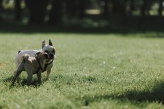 Two cute dogs are walking on green grass royalty free stock photography