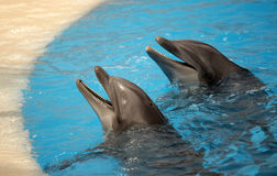 Two cute dolphins Royalty Free Stock Photo