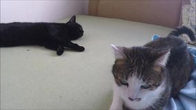 Two cute domestic cats on a bed stock video