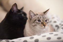 Two cute domestic short hair cats snuggle with one another. While lying on a bed royalty free stock photography