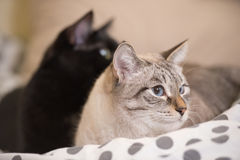 Two cute domestic short hair cats snuggle with one another. While lying on a bed royalty free stock image