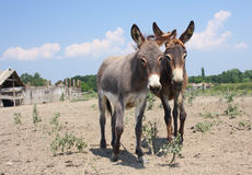Two cute  donkey in the rural farm Royalty Free Stock Images