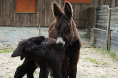 Two cute Donkeys. In farm pose on camera Royalty Free Stock Photo