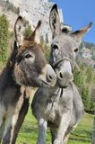 Two cute donkeys Stock Image