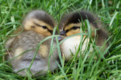 Two cute ducklings Royalty Free Stock Image