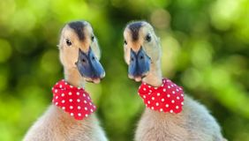 Two cute ducklings looking curiously at the camera Stock Photo