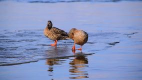 Two cute ducks on an ice floe in spring in beautiful pink-blue water. They talking and standing stock video