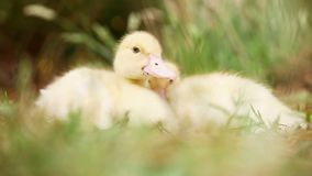 Two cute ducks in the wild. Two little ducks resting cozy together in the field stock video