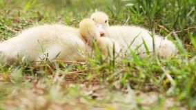 Two cute ducks in the wild. Two little ducks sleeping cozy together stock footage