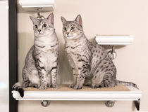 Two Cute Egyptian Mau Cats Sitting on a Shelf. Looking to the left Stock Photos
