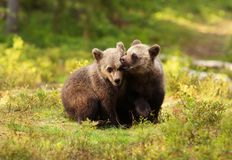 Two cute Eurasian brown bear cubs play-fighting. On a sunny summer afternoon in the Finnish forests Royalty Free Stock Images
