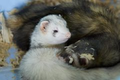 Two cute ferrets sleeping in wood sawdust royalty free stock photo