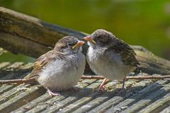 Two cute fledgling baby birds, House Sparrows Passer domesticus. Are perching on gray wood and waiting for food from their parents, selected focus, narrow depth stock photos