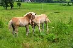 Cute foals having fun in pasture, Austria royalty free stock image