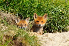 Two cute foxes Royalty Free Stock Image