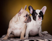 Two cute  french bulldog puppies Royalty Free Stock Photos