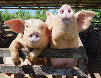 Two cute, funny and curious pigs on a farm in the Dominican Repu. Two cute and funny pigs looking curiously at the camera from behind their fence on a farm in stock photos