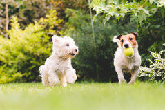 Two cute and funny dogs playing with a ball. Pair of pets playing at back yard lawn Royalty Free Stock Image