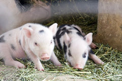 Two cute and fuzzy one week old baby piglets Stock Photo