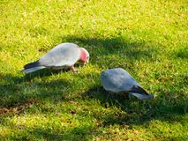 Two Cute Galah cockatoo bird feeding on a green grass at a botanical garden. A beautiful Two Cute Galah cockatoo bird also known as the rose-breasted cockatoo Royalty Free Stock Images
