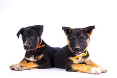 Two cute German Shepherd puppies Stock Image