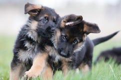 Two Cute German Shepherd Puppies Stock Image