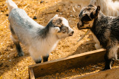 Two cute goat kids Royalty Free Stock Photos