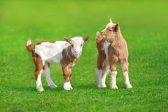 Two cute goat. In spring green grass stock photography