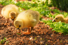 Two Cute Goslings Royalty Free Stock Photo