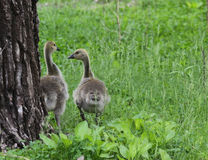 Two cute goslings Stock Photography