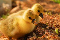 Two cute goslings are searching for food Royalty Free Stock Image