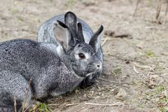 Two cute gray rabbits. Two cute, gray rabbits are sitting in the garden and eating grass Stock Photos