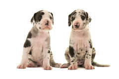 Two cute great dane puppies Stock Image