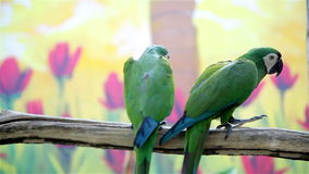 Two cute green parrots. Feeding each other stock video