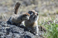 Two cute ground squirrel. Wildlife: two cute ground squirrel. Russia, Kamchatka Peninsula stock photo