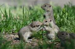 Two Cute Ground Squirrels Sharing a Little Kiss Royalty Free Stock Image