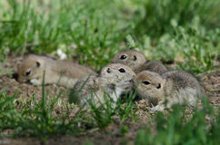 Two Cute Ground Squirrels Sharing a Little Kiss Royalty Free Stock Images