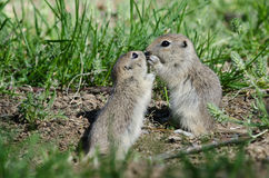 Two Cute Ground Squirrels Sharing a Little Kiss Royalty Free Stock Photo