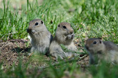 Two Cute Ground Squirrels Sharing a Scrumptious Meal Royalty Free Stock Image